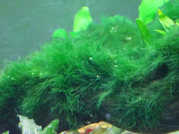 Green brush algae